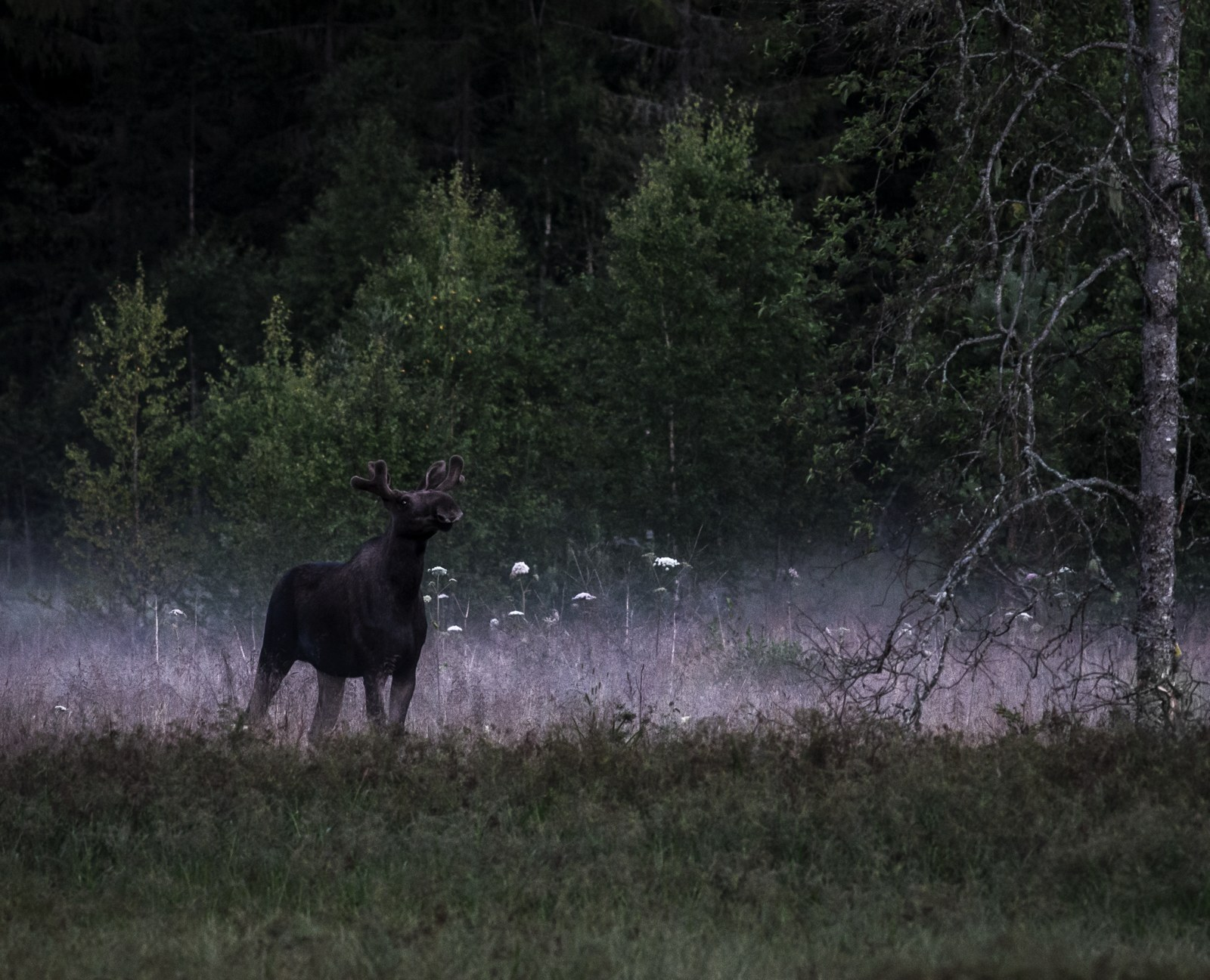 Moose at dawn