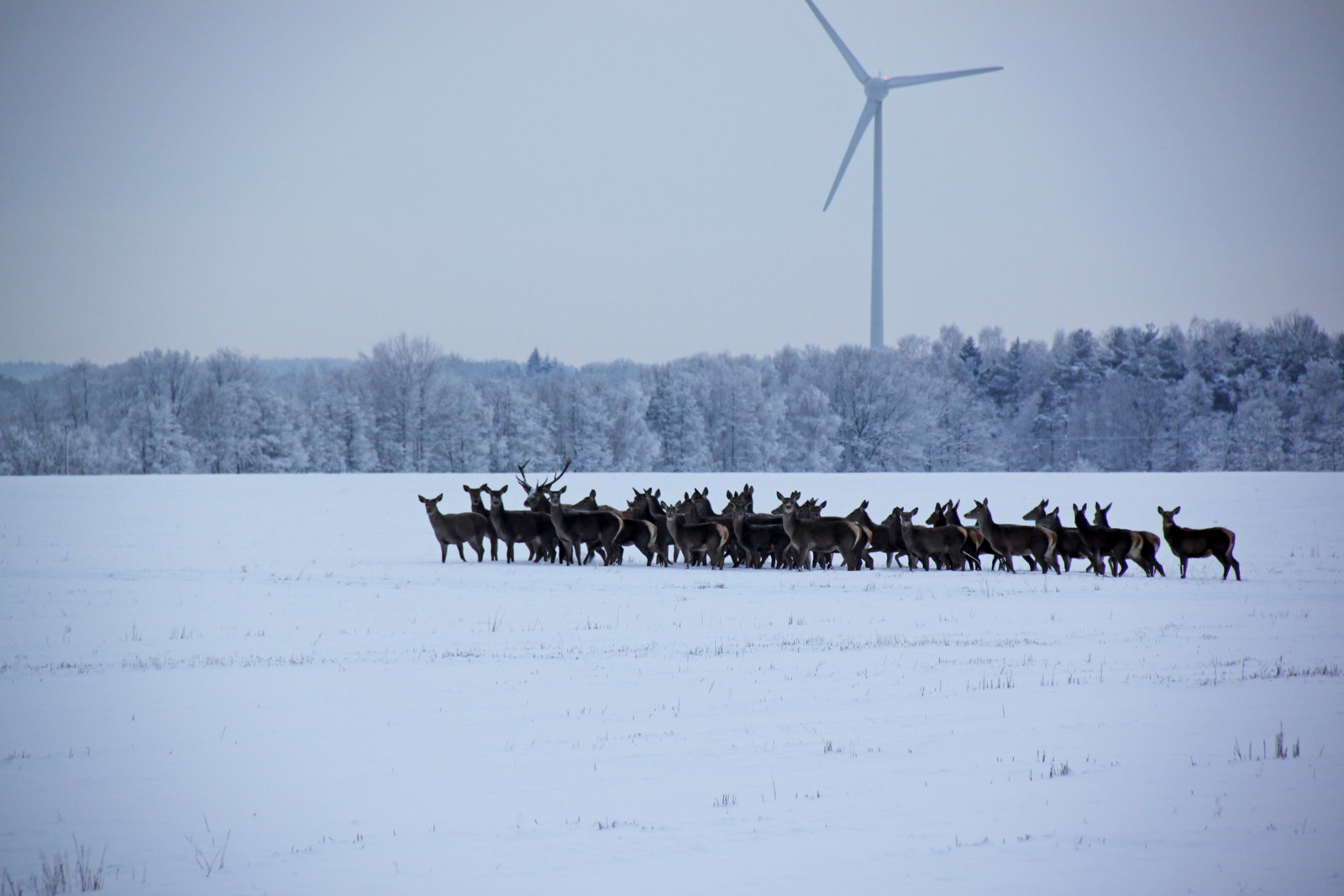 Red deer and windturbine