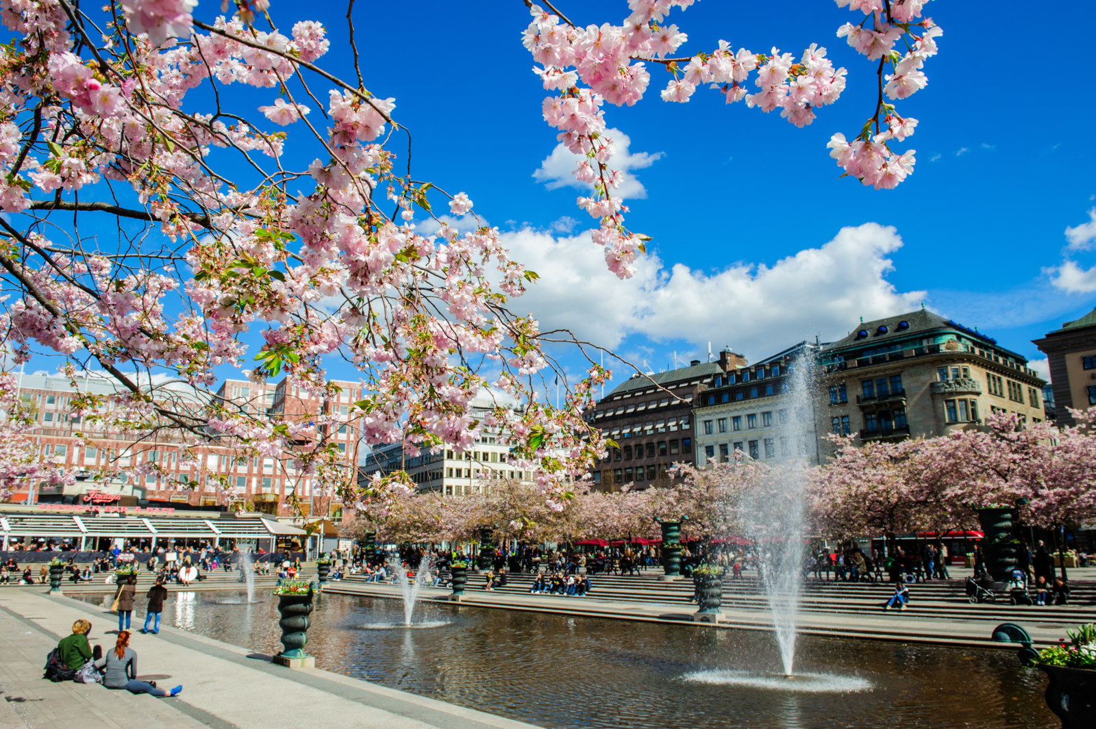 Cherry bloom in Stockholm